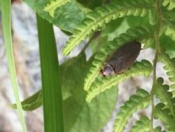 ヒメクロゴキブリ